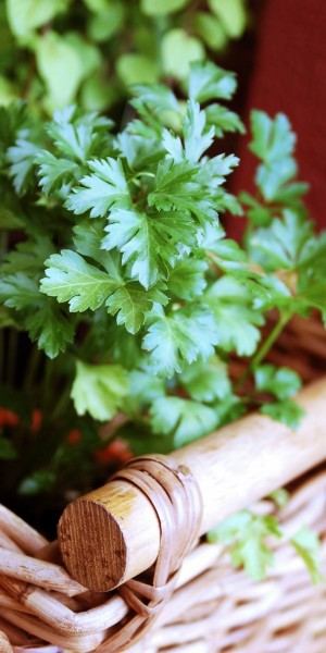 parsley_herbs_aromatic_herbs