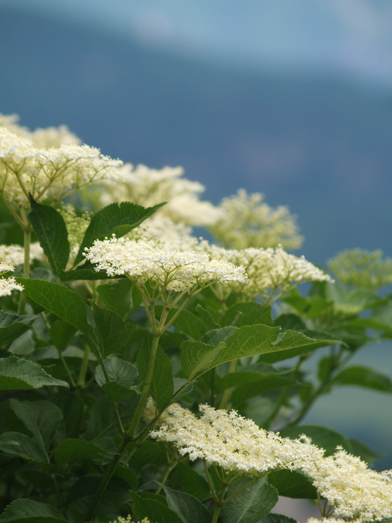 elderberry_flower_white_black_elderberry