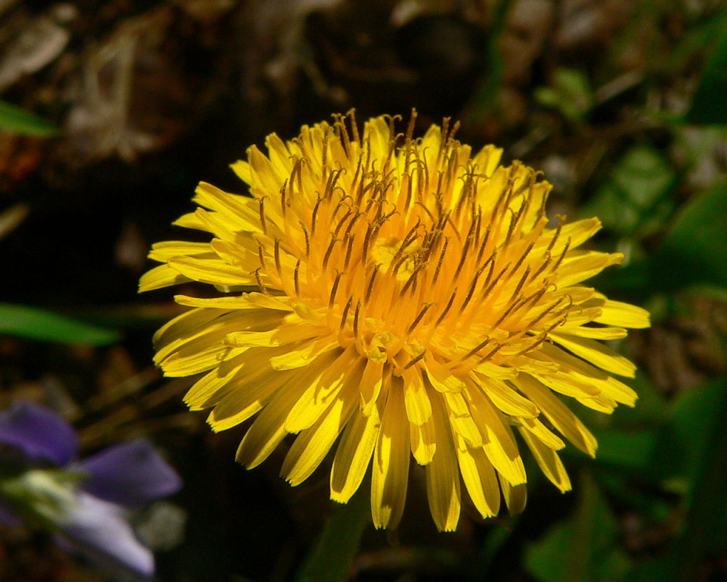 DandelionFlower by Greg Hume - Own work. Licensed under CC BY-SA 3.0 via Wikimedia Commons - httpscommons.wikimedia.orgwikiFileDandelionFlower.jpg#mediaFileDandelionFlower.jpg