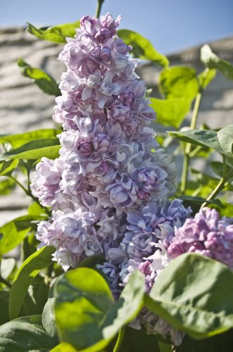 syringa miss elen willmott kd